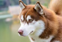 Brown Siberian Husky Dog Standing
