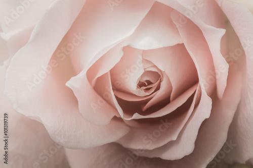 Closeup of a pink rose Canvas