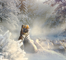 Siberian Tiger Relaxing In The Snow
