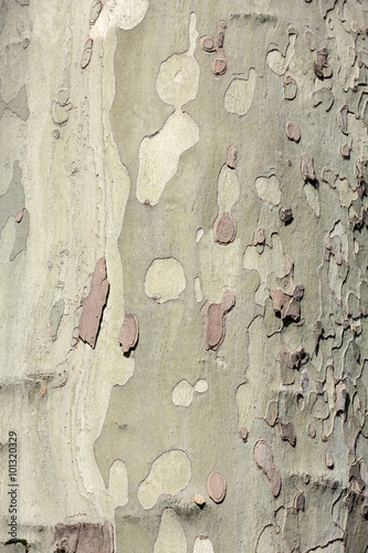 Fotografia, Obraz  bark of platan tree