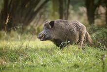 Wild Boar In Summer Meadow
