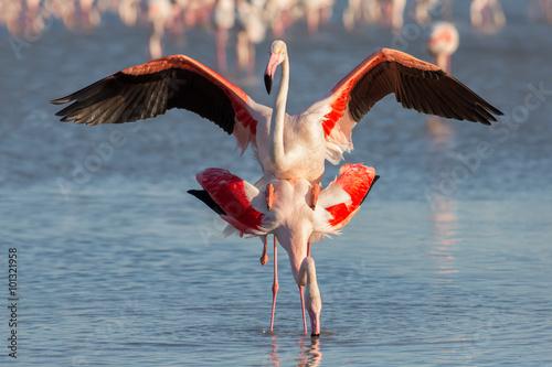 Foto op Aluminium Flamingo Coupling flamingos, Camargue, France