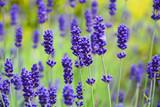 Fototapeta Kwiaty - lawenda wąskolistna - lavender