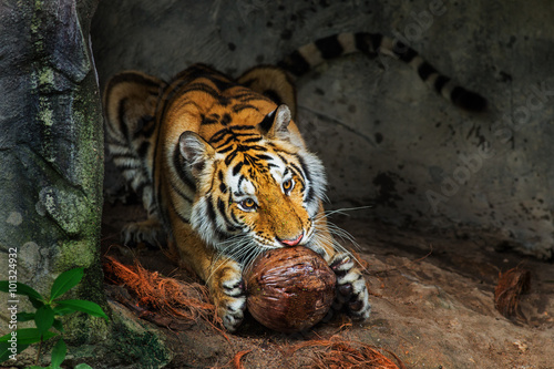 Photo Stands Egypt Tiger eat Coconut