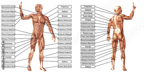 Fototapeta Vector 3D man muscle anatomy with text isolated