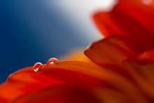 Two Drops On The Petals Of Gerbera