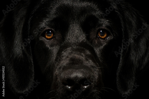 Photo Stands Panther Black labrador smart face looking straight