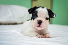 Puppy Dogs French Bulldogs