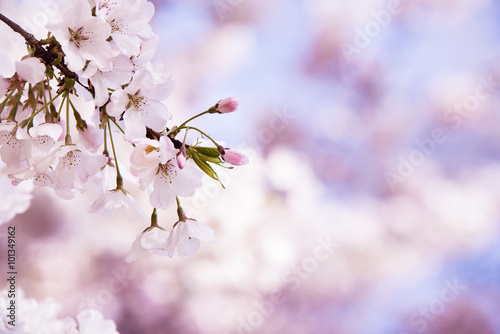 Closeup of cherry tree blossoms in the spring