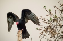 Turkey Vulture Wings Open Perc...
