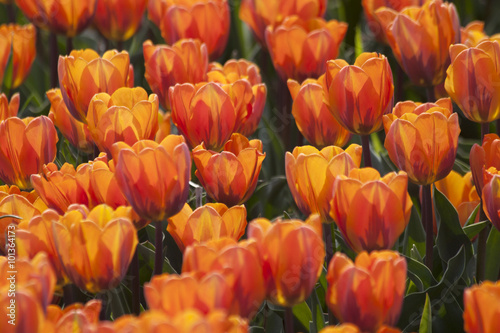 Acrylic Prints Flower shop oranje tulpen