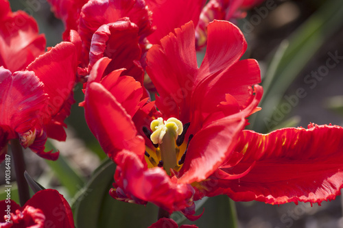 Photo Stands Tulip rode tulp