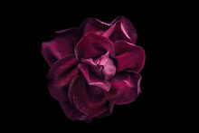 Dark Red Rose With Water Drop On The Black Background Top View