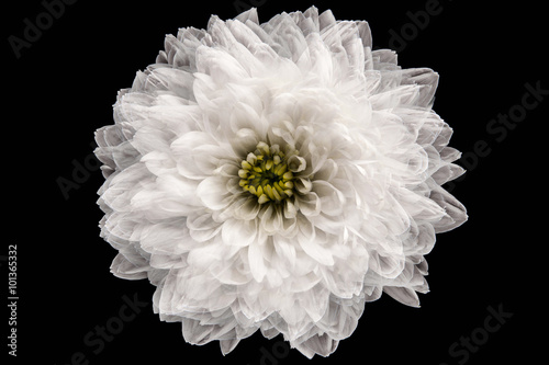 Fotomural White chrysanthemum on the black background