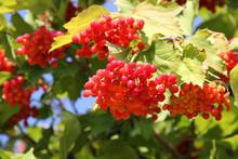 Guelder Rose Viburnum Opulus Fruit Plant Grow In Poland, Europe