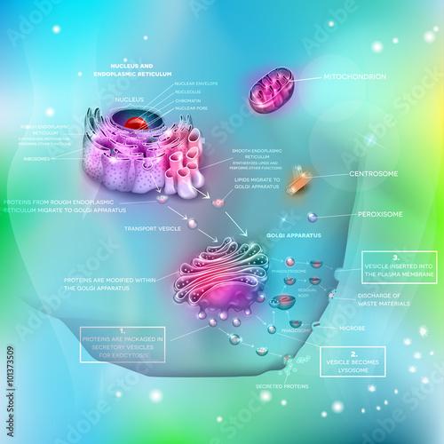 Cell Anatomy And Functions Nucleus Endoplasmic Reticulum Golgi