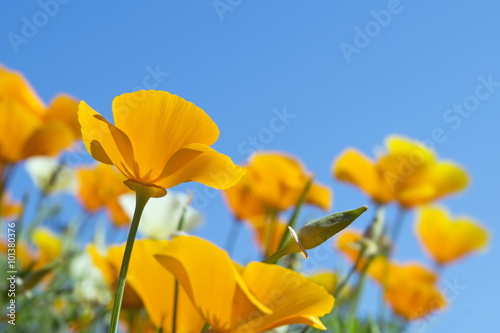 California golden poppies in spring Canvas-taulu