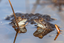 Two Male Common Frogs  With Sp...