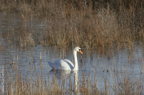 Canvas Prints Swan Zwaan in duinmeer
