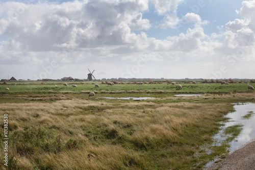 Canvas Prints Sheep Schapen in Hollands landschap met molen