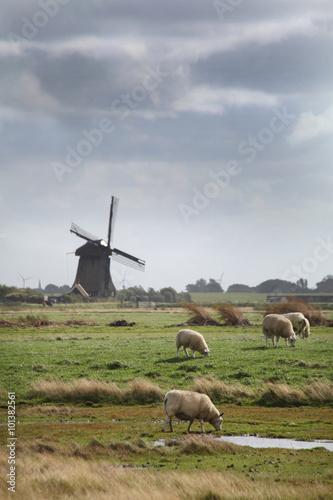 Foto auf AluDibond Schaf Schapen in Hollands landschap met molen