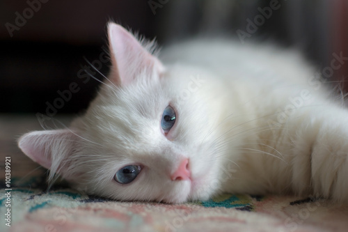 Photo Sleepy turkish angora cat