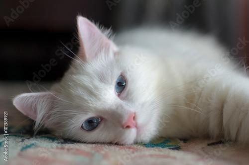 Sleepy turkish angora cat Canvas Print