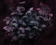 Artistic Dark Colored Withered Hydrangea Flower Close Up