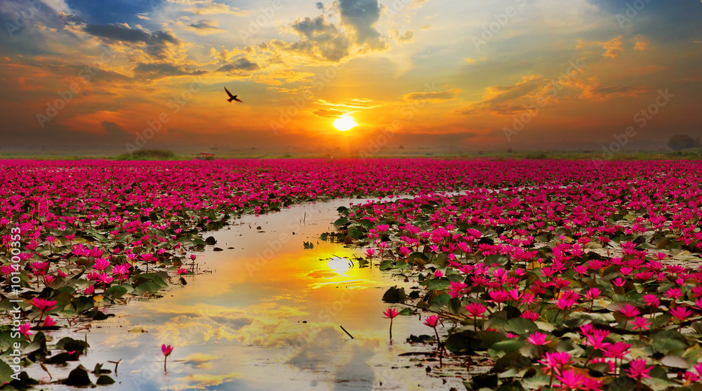 Fototapeta Sunshine rising lotus flower in Thailand