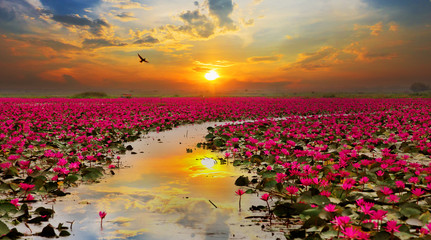 Obraz Sunshine rising lotus flower in Thailand