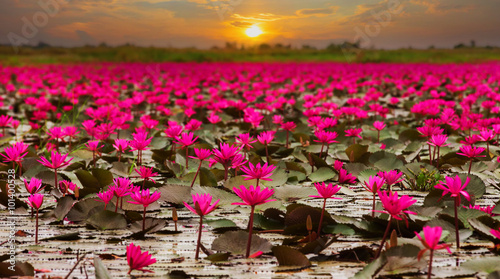Garden Poster Lotus flower Sunshine rising lotus flower in Thailand