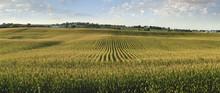 Midwestern Cornfield In Late Afternoon Sun Panorama