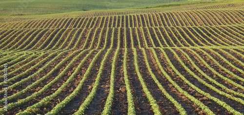 Ingelijste posters Platteland Rows of young soybean plants in morning light