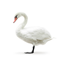 White Swan Isolated On White I...
