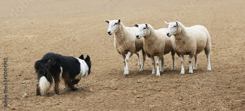 Fotografie, Obraz  Sheepdog Staring Down a Group of  Sheep