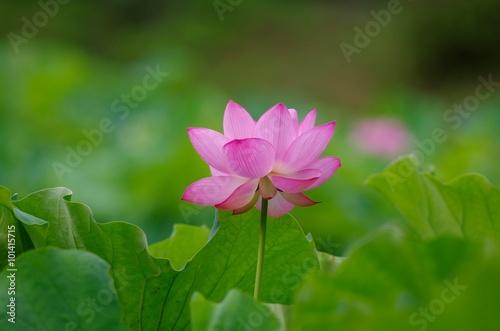 Foto op Canvas Lotusbloem lotus blooming in summer morning