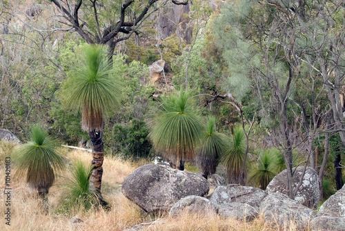 Valokuva  Bushland with Grasstrees, Australia