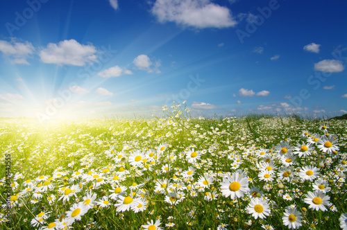 Poster Madeliefjes daisy flowers