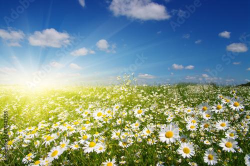 Foto op Aluminium Madeliefjes daisy flowers