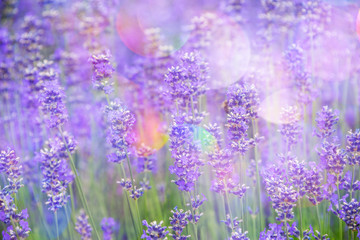 Fototapeta Lawenda lavender on a field in detail