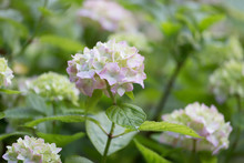 Blossoming Pink Hydrangea Flowers