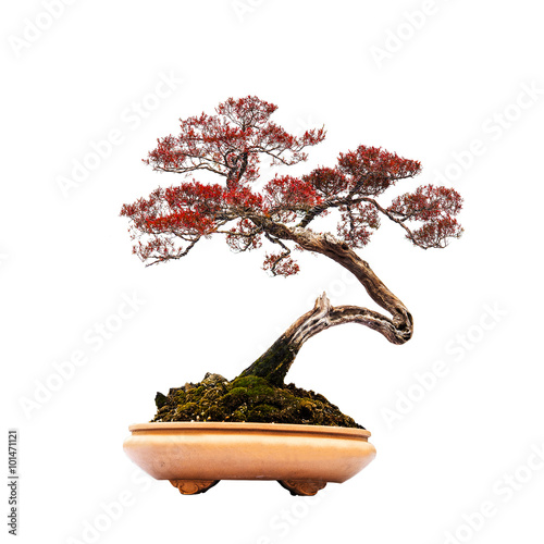 Foto op Canvas Bonsai Bonsai pine tree against a white wall