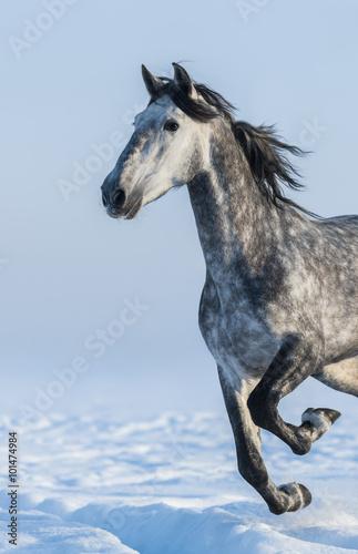 Fototapeta Grey horse - close up portrait in motion obraz na płótnie