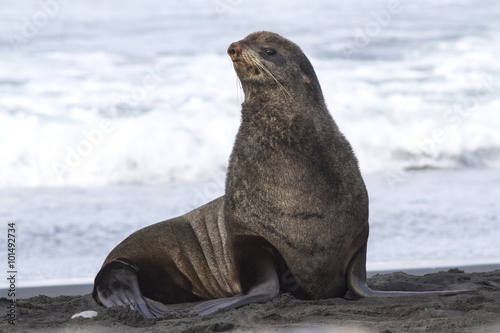 Photo  young male northern fur seal that sits on the beach on the Pacif