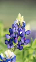 Texas Bluebonnet Flower (Lupin...
