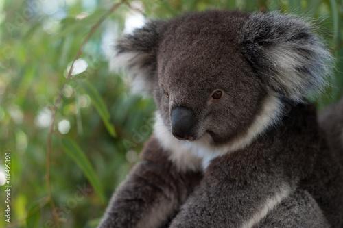 Garden Poster Koala A koala bear sitting on a branch on a tree