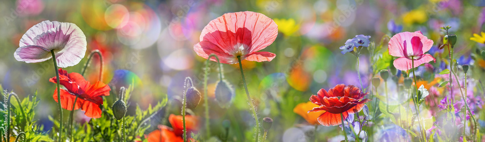 Fototapeta summer meadow with red poppies