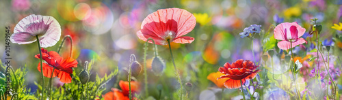 Ingelijste posters Poppy summer meadow with red poppies