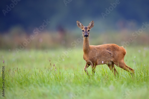 In de dag Ree Roe-deer in the wild in a clearing