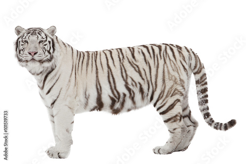 Fotografía White tiger